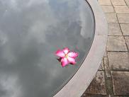 ピンクのプルメリア