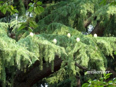 20100724himarayasugi.jpg