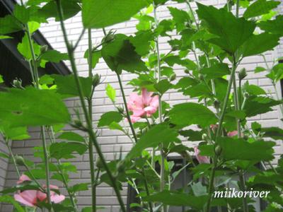 mukuge20100711.jpg