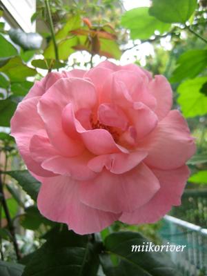 pinkrose2010.jpg
