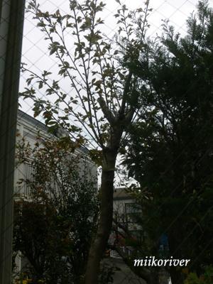 sakura201004.jpg