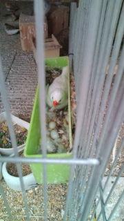 キンカ産卵