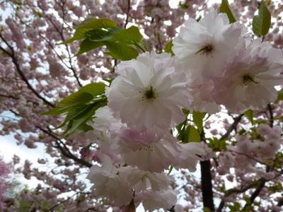 きれいな色の八重桜