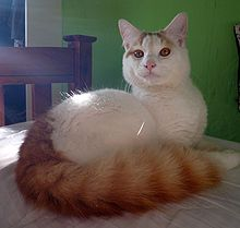 Turkish_Van.jpg