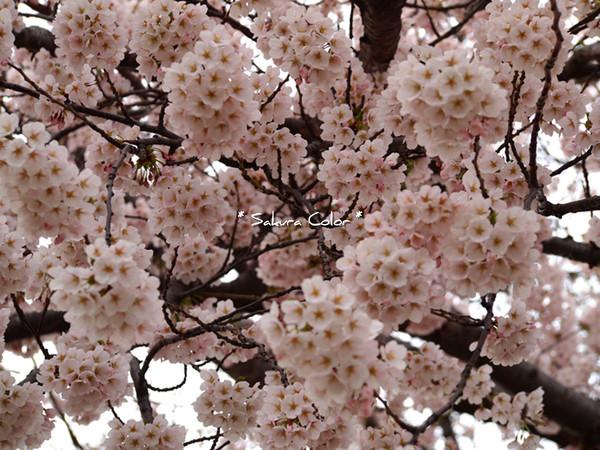 sakura4_20130501163658.jpg