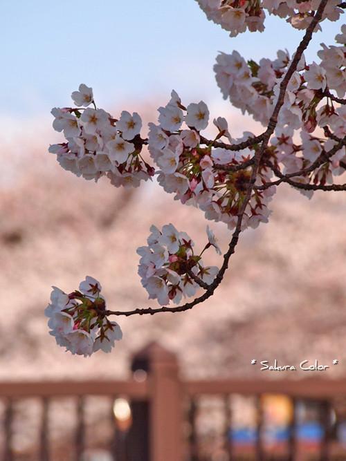 sakura_20130501163655.jpg