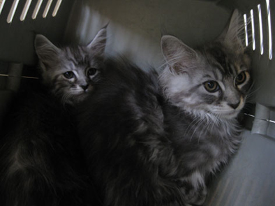 ギンは生後3ヶ月のメインクーンの男の子、サクヤはまだ生まれて2ヶ月たらずのメインクーンの女の子。前がギン、後がサクヤ。