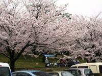 2012.4.10 広瀬公園の桜1