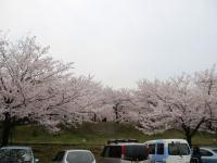 2012.4.10 広瀬公園の桜2