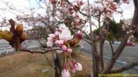 磐越自動車道阿武隈高原S.A.の桜(2010/04/24)