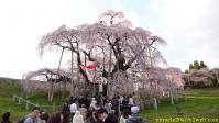 三春滝桜(2010/04/24)