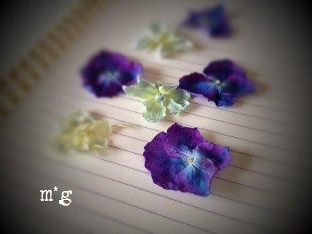 紫陽花のガクのドライ1