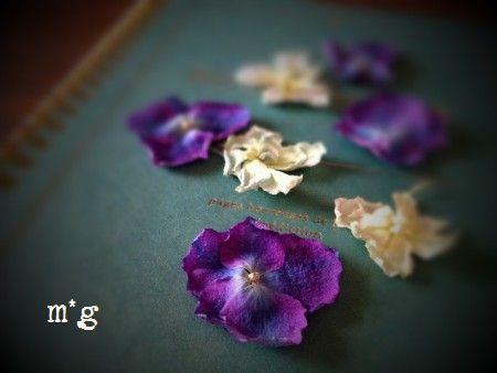 紫陽花のガクのドライ2