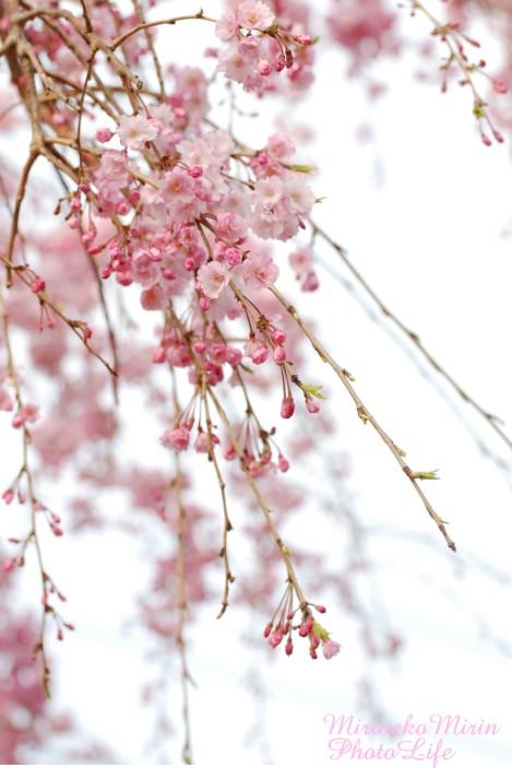 20130324枝垂れ桜3