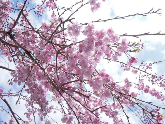 20130326枝垂れ桜2