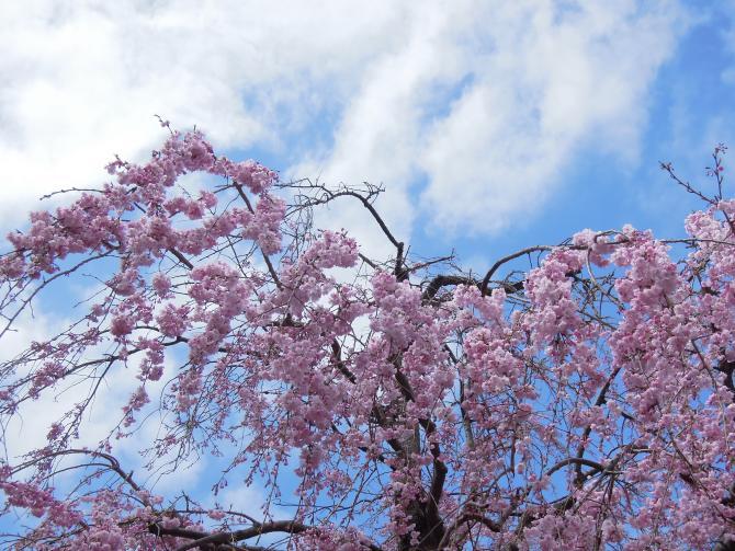 20130326枝垂れ桜1