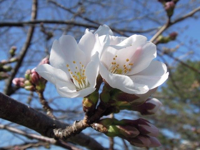 20130316桜