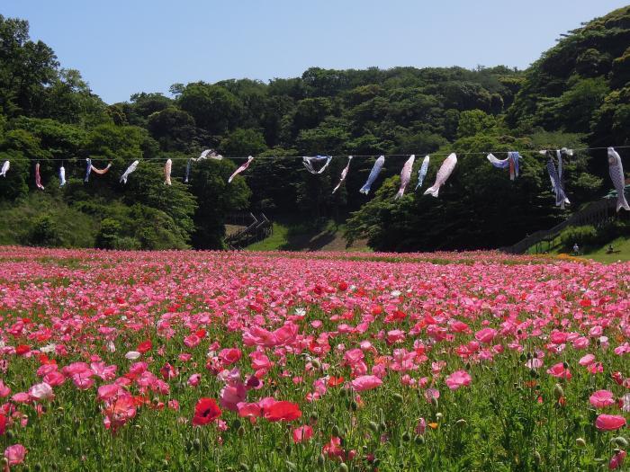 20130517くりはま花の国