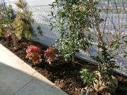 セレサモス 植木1