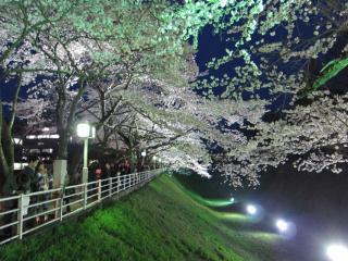 お堀の桜ライトアップ②