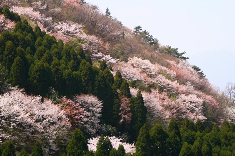 s-野津原桜20100403 218