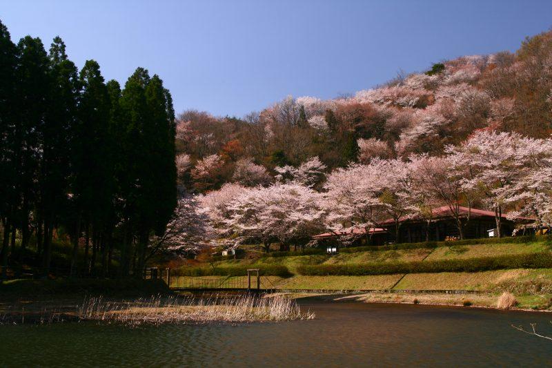 s-野津原桜20100403 034