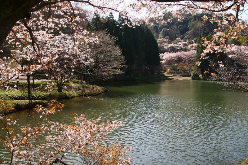 s-野津原桜20100403 054