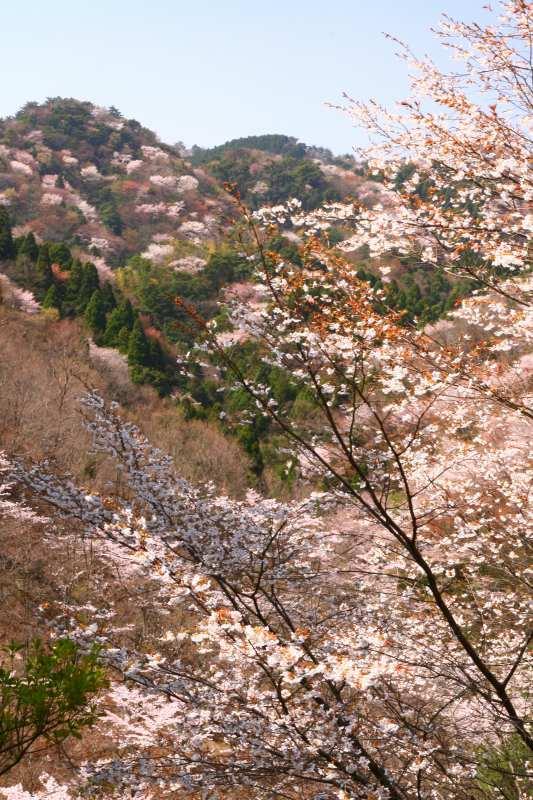 s-野津原桜20100403 080