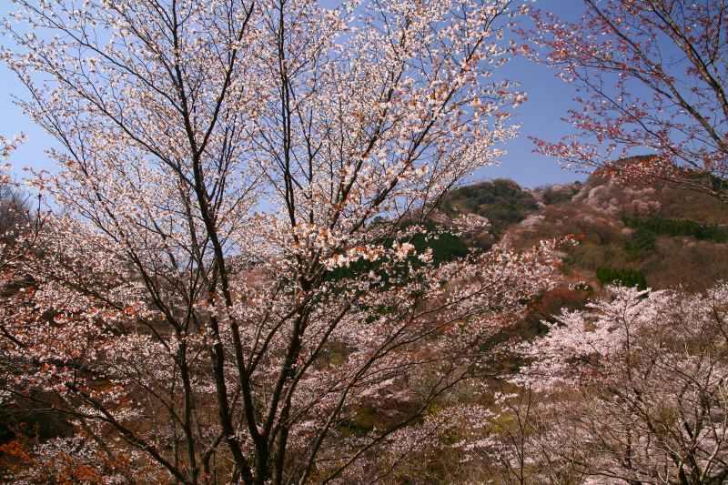 s-野津原桜20100403 125