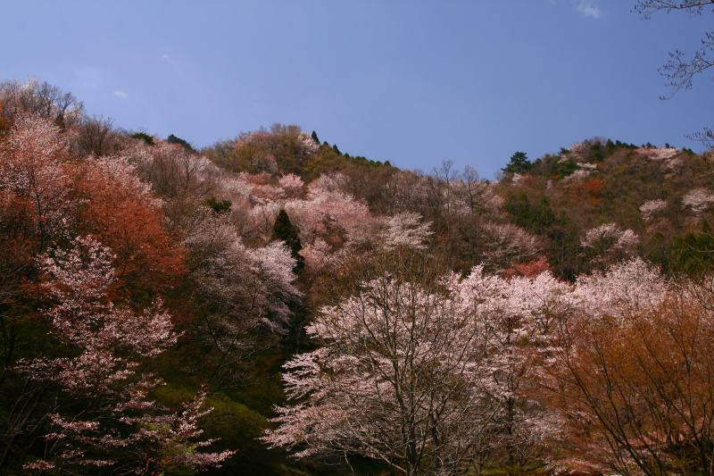 s-野津原桜20100403 135