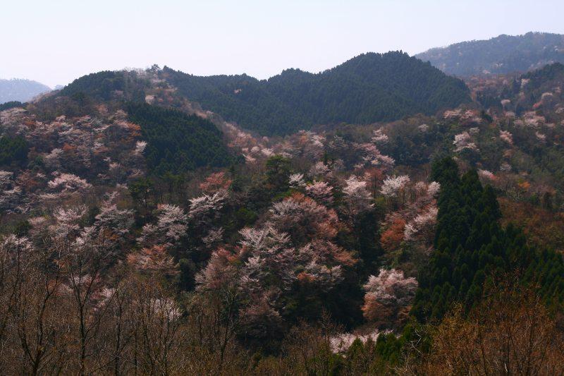 s-野津原桜20100403 156