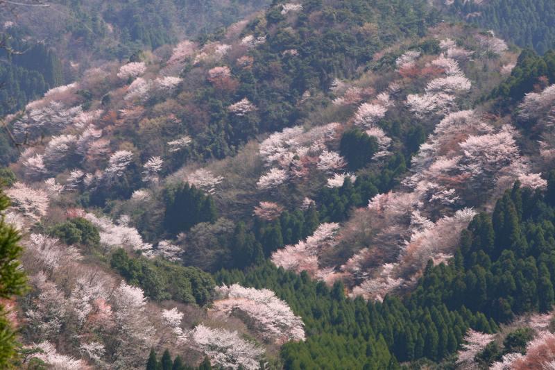 s-野津原桜20100403 182