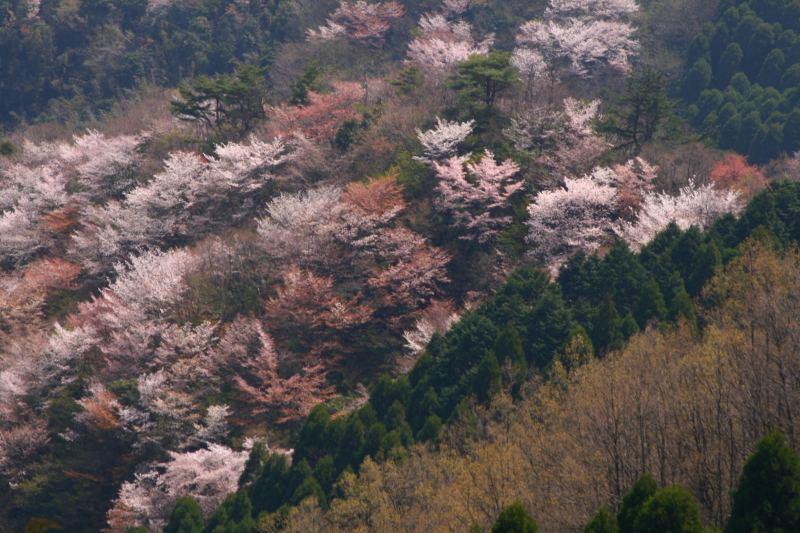 s-野津原桜20100403 197