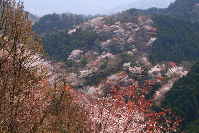 s-野津原桜20100403 204