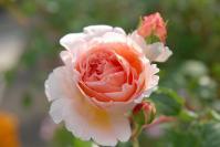 rose_pink02.jpg