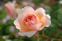 rose_pink03.jpg