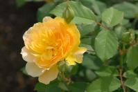 rose_yellow02.jpg