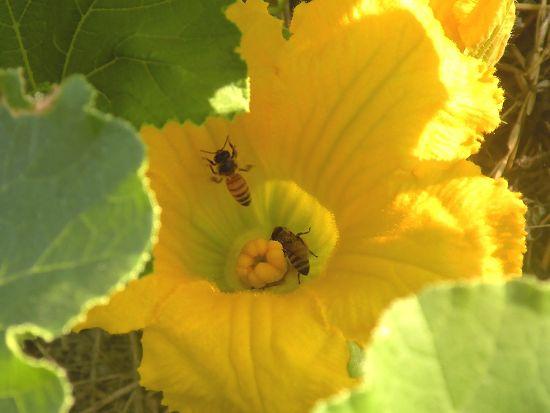 南瓜とミツバチ
