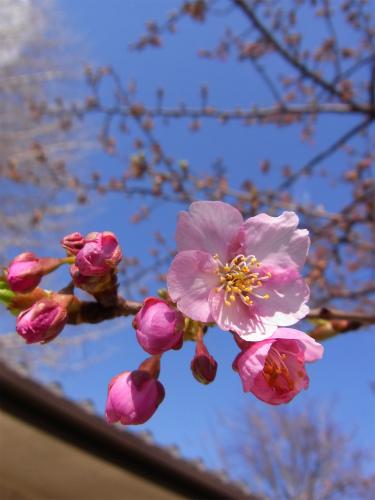 普門院の桜