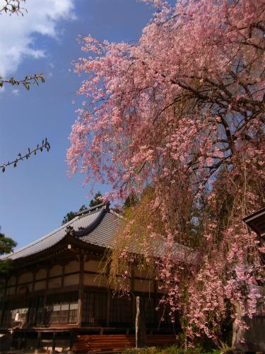 清雲寺の本堂と枝垂れ