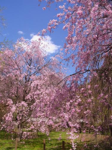 清雲寺の枝垂れ