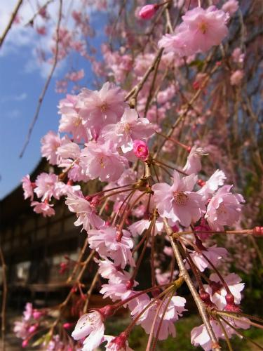 清雲の枝垂れ (2)