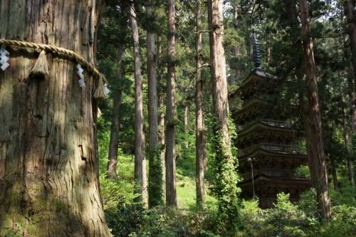 6爺杉 (1200x800)