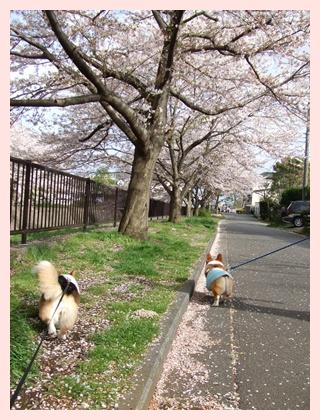 近所の桜‥満開♪【22.4.10】 NO1