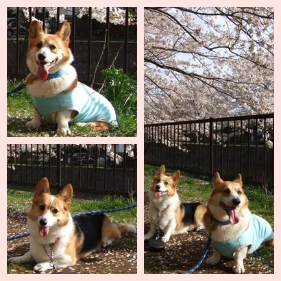 近所の桜‥満開♪【22.4.10】 NO3