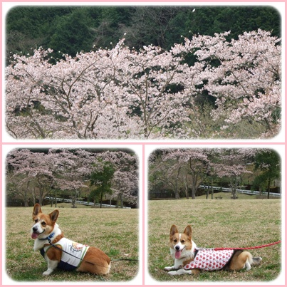 お花見は、恒例のダム広場でヽ(*⌒▽⌒*)ノ【22.4.11】 NO1