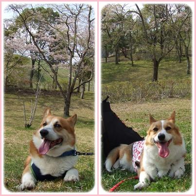 お花見は、恒例のダム広場でヽ(*⌒▽⌒*)ノ【22.4.11】 NO4