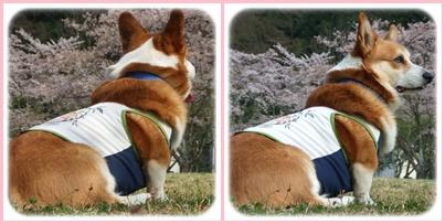 お花見は、恒例のダム広場でヽ(*⌒▽⌒*)ノ【22.4.11】 NO9