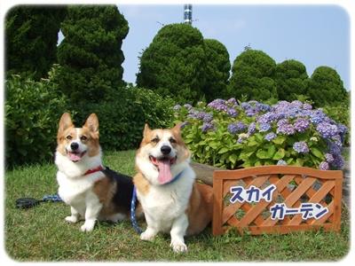 八景島・あじさい祭【22.6.11】 NO3