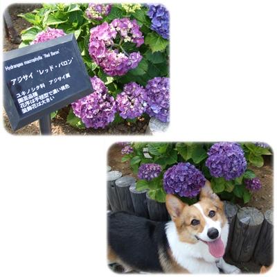 八景島・あじさい祭【22.6.11】 NO5